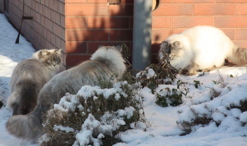 Z Kociego Domupl Hodowla Kotów Syberyjski Neva Masquerade Neva